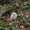 Owlet on Ground
